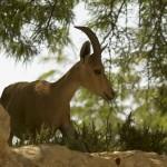 Хвалынская коза
